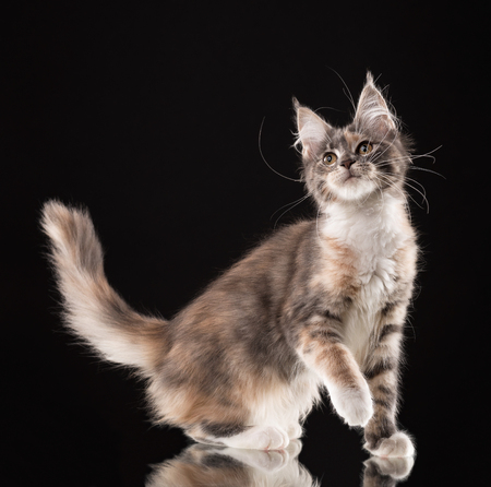 Fluffy Maine Coon kitten over black background Imagens