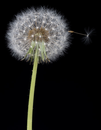 Old dandelion stem with seed blowing away over black background Stock Photo
