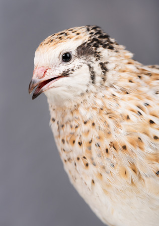 Portrait of cute adult quail over grey background close-up