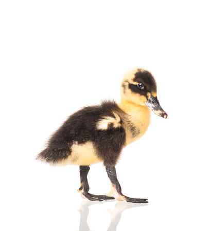Cute little duckling isolated over white background