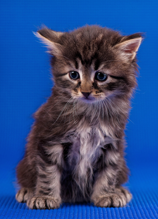 Cautious little siberian kitten over blue background Stock Photo