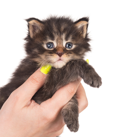 Fluffy Maine Coon kitten on the female hand isolated over white background Imagens