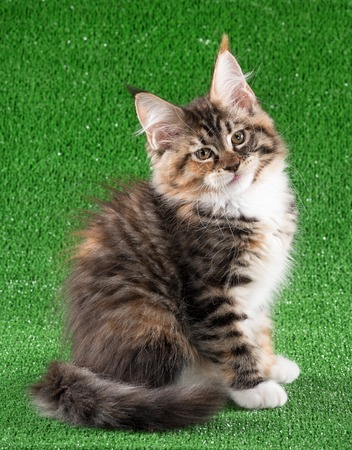 Maine Coon kitten over green grass background Stock Photo