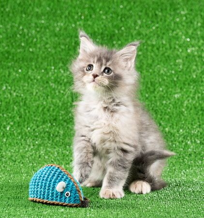 Maine Coon kitten with toy mouse over green grass background