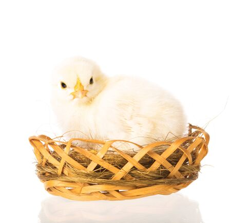 Cute newborn chicken in the wicker basket isolated over white background