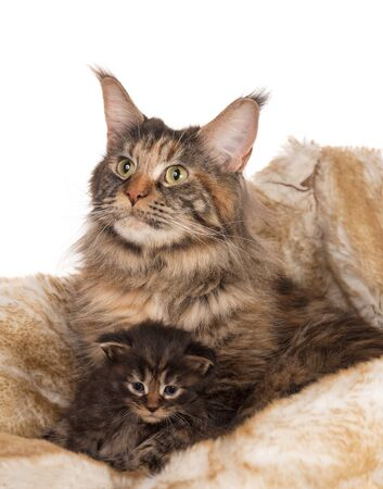 Cute Maine Coon cat with little kitten over white background Reklamní fotografie
