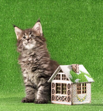Serious Maine Coon kitten with toy house over green grass background Reklamní fotografie