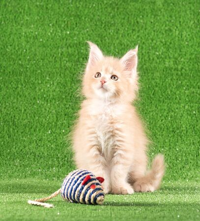 Serious Maine Coon kitten with toy mouse over green grass background