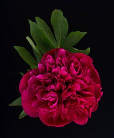 Bright red pion flower with green leaves over black background Reklamní fotografie