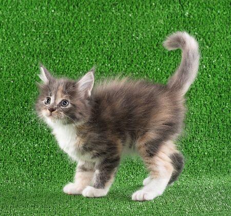 Serious Maine Coon kitten posing over green grass background Reklamní fotografie