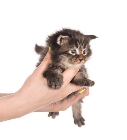 Fluffy Maine Coon kitten on the female hand isolated over white background Reklamní fotografie