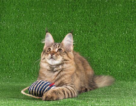 Playful Maine Coon kitten posing over green grass background
