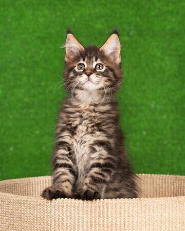 Maine Coon kitten on the scratching-stone over green grass background