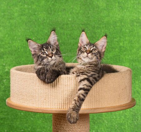 Maine Coon kittens on the scratching-stone over green background Stock Photo