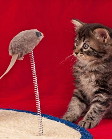 Curious little kitten on the scratching post over red background