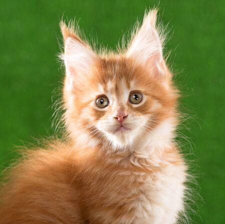 Portrait of Maine Coon kitten over green grass background Reklamní fotografie