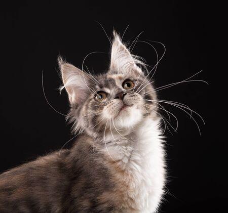 Fluffy Maine Coon kitten over black background Reklamní fotografie