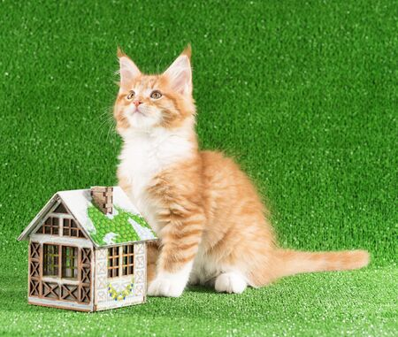 Playful Maine Coon kitten with toy house over green grass background Reklamní fotografie