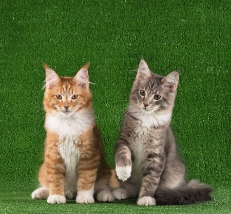 Maine Coon kittens over bright green grass background Reklamní fotografie - 134848081