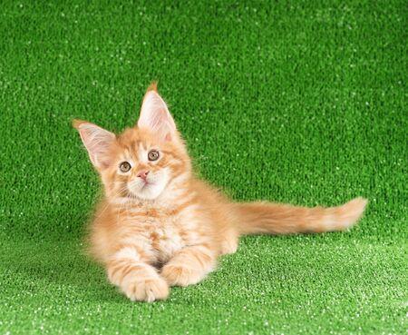 Playful Maine Coon kitten posing over green grass background Reklamní fotografie - 134848086
