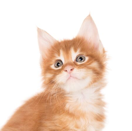 Fluffy Maine Coon kitten isolated over white background