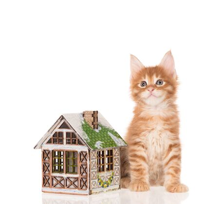 Serious Maine Coon kitten with toy house isolated over white background