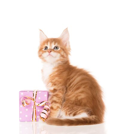 Fluffy Maine Coon kitten with a gift-box isolated over white background Reklamní fotografie