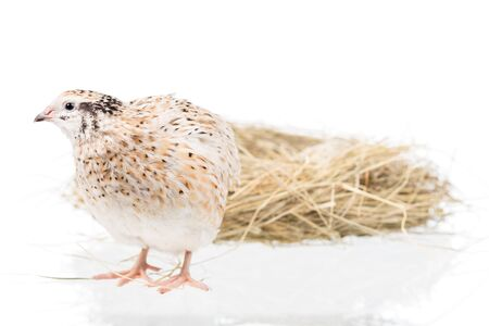 Cute adult quail with nest isolated over white background cutout