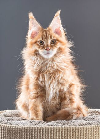 Fluffy Maine Coon kitten on the scratching-board over grey background Reklamní fotografie - 134848103