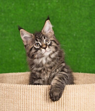 Maine Coon kitten on the scratching-stone over green grass background Reklamní fotografie - 134848183