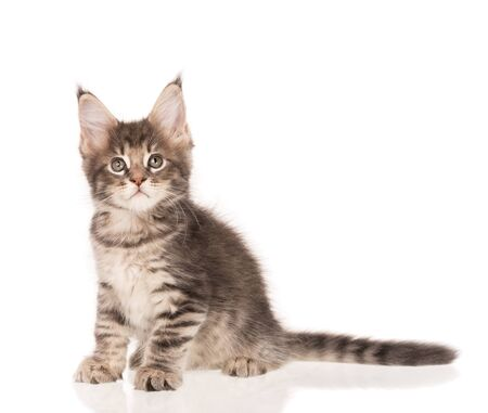 Fluffy Maine Coon kitten isolated over white background Reklamní fotografie - 134848184