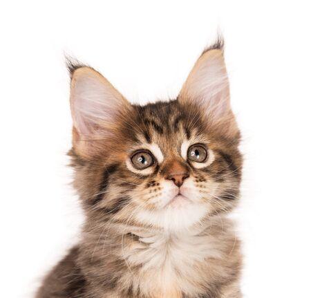 Fluffy Maine Coon kitten isolated over white background Reklamní fotografie - 134848186