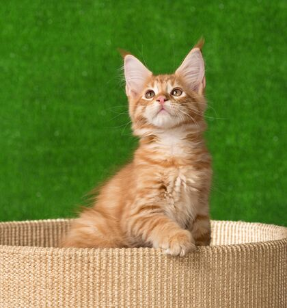 Maine Coon kitten on the scratching-stone over green grass background Reklamní fotografie - 134942025