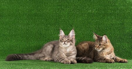 Maine Coon kittens over bright green grass background