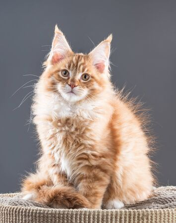 Fluffy Maine Coon kitten on the scratching-board over grey background