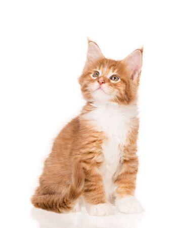 Flauschige Maine Coon Kätzchen isoliert auf weißem Hintergrund