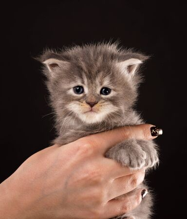 Fluffy Maine Coon kitten on the female hand over black background Reklamní fotografie