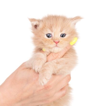 Fluffy Maine Coon kitten on the female hand isolated over white background Reklamní fotografie