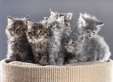 Fluffy Maine Coon kittens on the scratching-board over grey background
