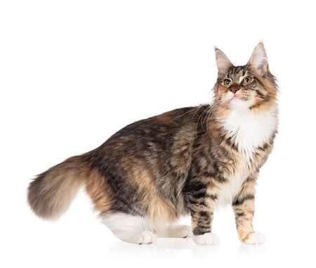 Fluffy Maine Coon cat isolated over white background