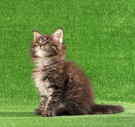 Playful Maine Coon kitten posing over green grass background