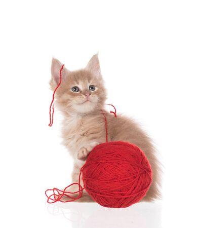 Maine Coon kitten with yarn ball toy isolated over white background