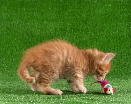 Playful Maine Coon kitten posing with toy over green grass background