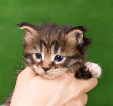 Fluffy Maine Coon kitten on the female hand over green grass background