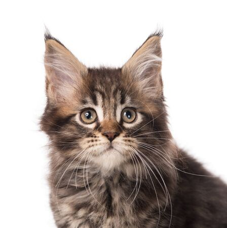 Portrait of Maine Coon kitten isolated over white background Reklamní fotografie