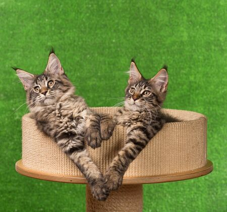 Maine Coon kittens on the scratching-stone over green background Reklamní fotografie