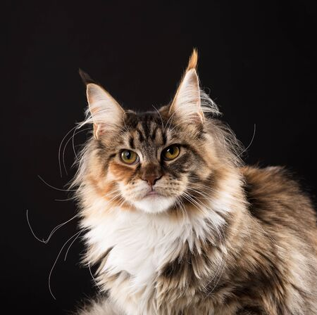 Fluffy Maine Coon kitten over black background Reklamní fotografie