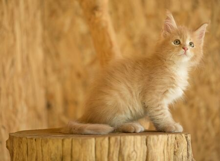 Cute Maine Coon kitten on the stump in the open-air cage