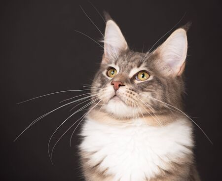 Portrait of Maine Coon kitten over black background