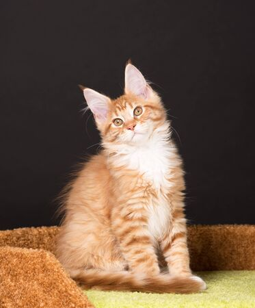 Maine Coon kitten on the scratching-stone over black background Reklamní fotografie
